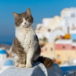 The Aegean cat