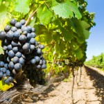 Wine Roads of Attica open for the Public