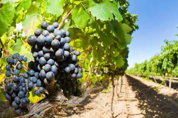 attica_vineyards
