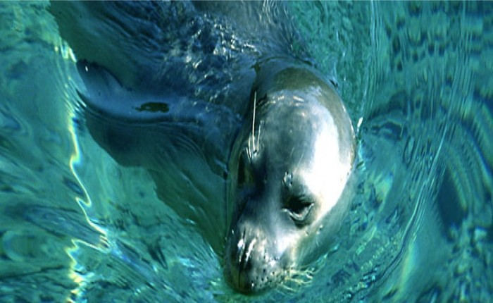 alonnisos monk seal