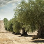 The Venetian Olive Grove in Lefkada