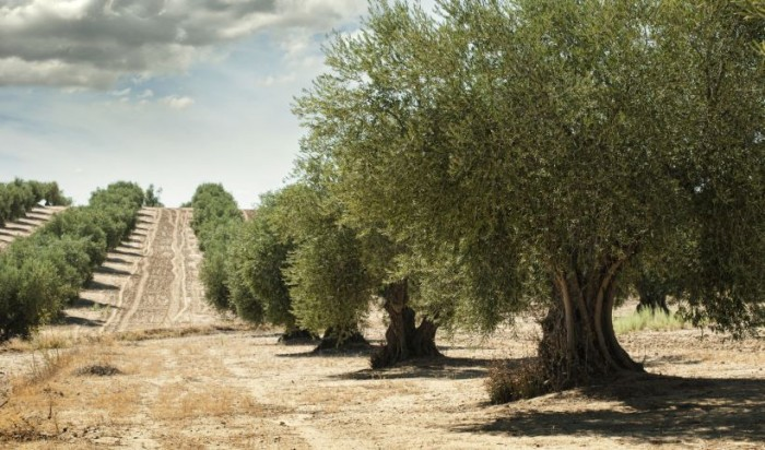 Venetian Olive Grove