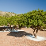 The Chios Mastiha Trees
