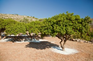 Mastiha trees featured