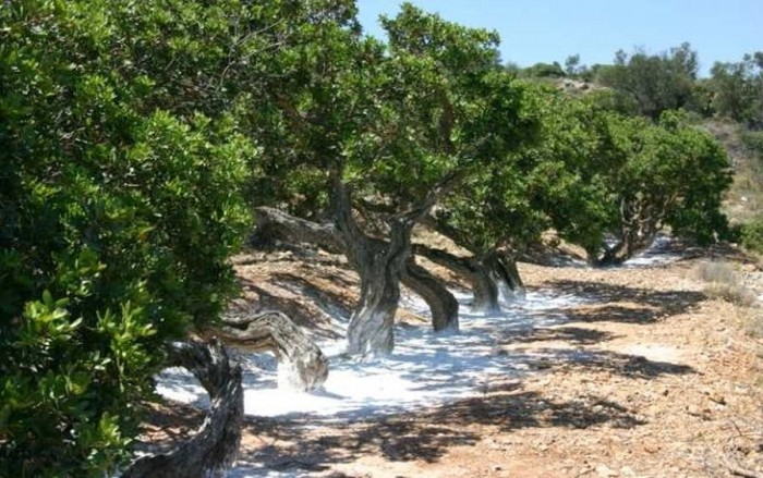 mastic trees 3