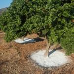 The Chios Mastiha Trees