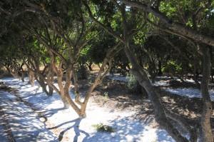 mastiha trees 2