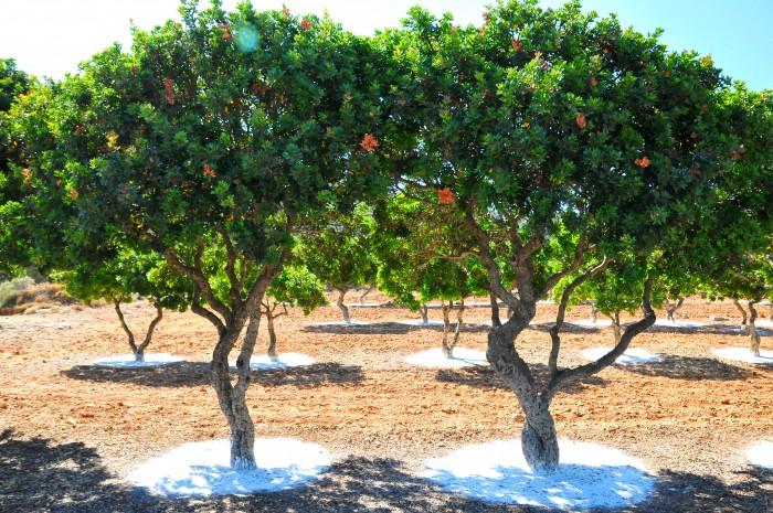 mastiha trees