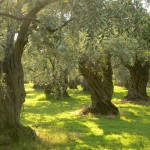 The Age-Old Symbol of the Olive
