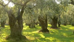 olive_trees_