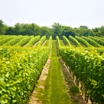 Kos Vineyards: A Tradition from Antiquity