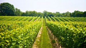 kos vineyards
