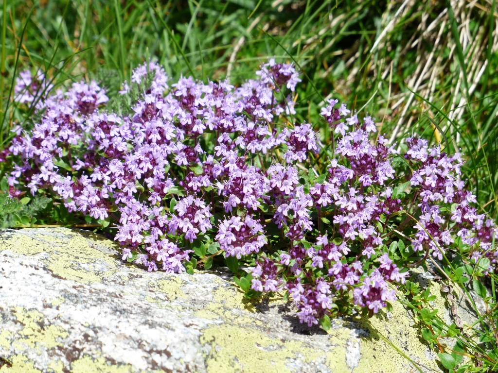 thyme purple-177261