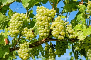 laconia wine toruism
